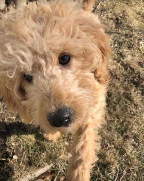 goldendoodle puppy 14 weeks