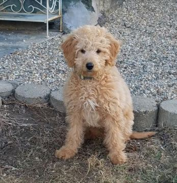 goldendoodle puppy 14 weeks_2