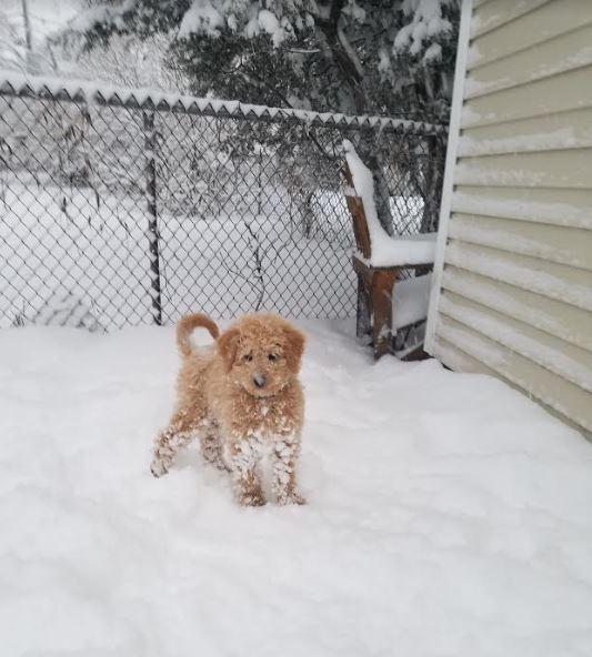 toby golden doodle puppy in snow.JPG
