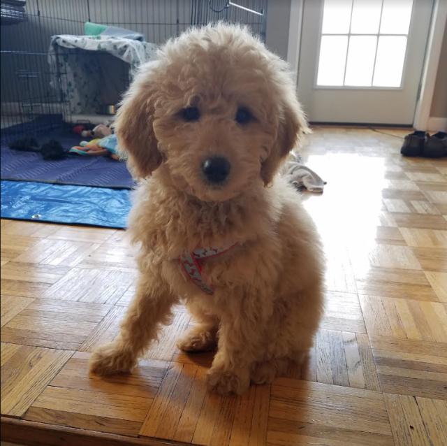 toby golden doodle puppy