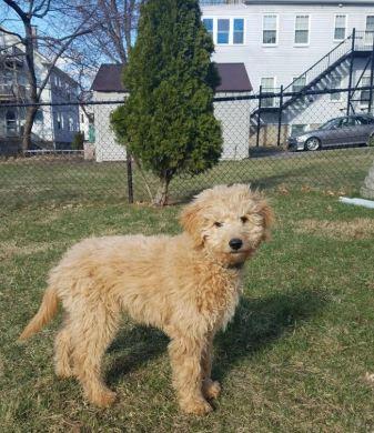 goldendoodle 4 months