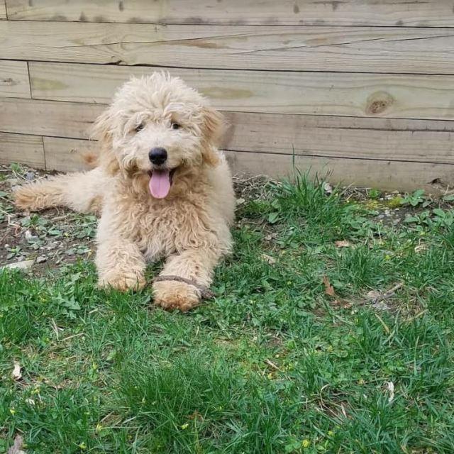 toby goldendoodle 6 months