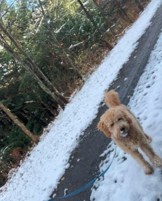 toby goldendoodle in snow 2018 1 yr.JPG